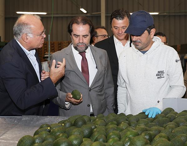 Madeira inicia exportação de abacate para o mercado nacional