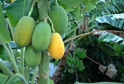 Extensão de autorização para utilização do produto fitofarmacêutico Flor de Ouro 98,5% (enxofre) nas culturas da bananeira e papaieira