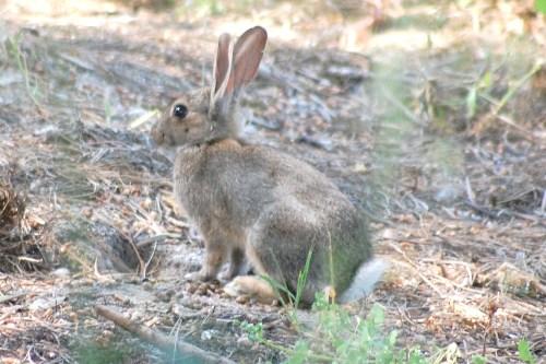 Ambiente prepara repovoamento de coelhos bravos no Porto Santo