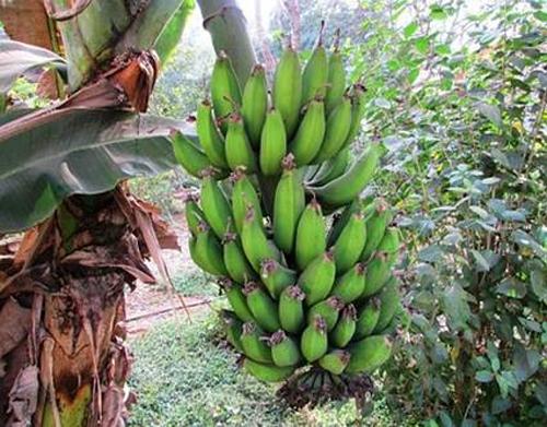 Mecanismo de estabilização para bananas