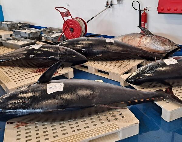 Quota do atum rabilho (quase) a esgotar-se