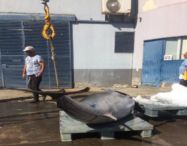 13 toneladas de atum rabilho descarregadas na lota