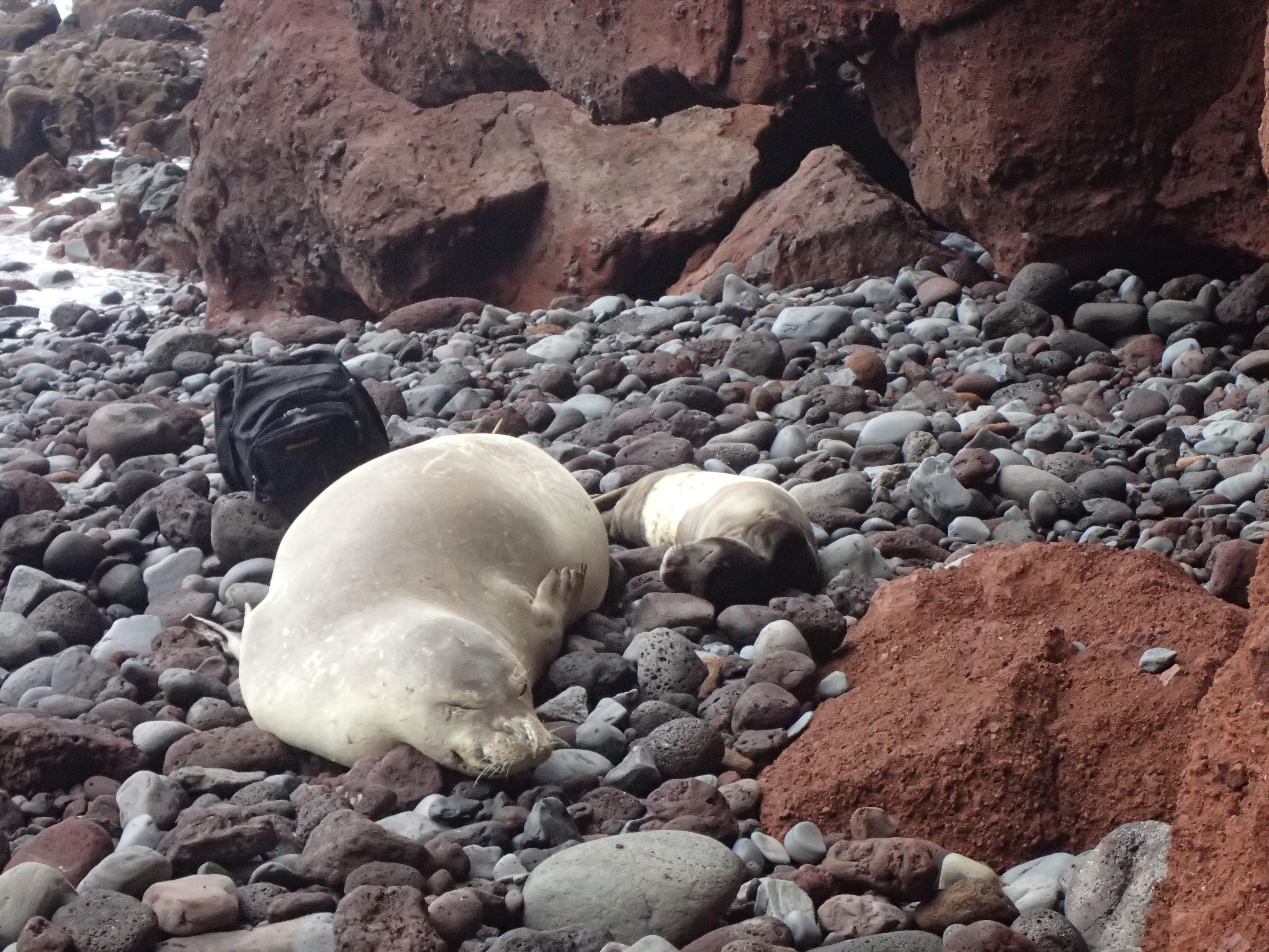 Nasceram mais dois lobos-marinhos nas Desertas