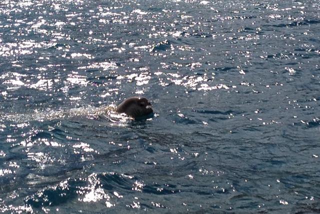 Lobos-marinhos avistados no Porto Santo