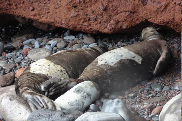 Nasceram mais lobos-marinhos nas Desertas