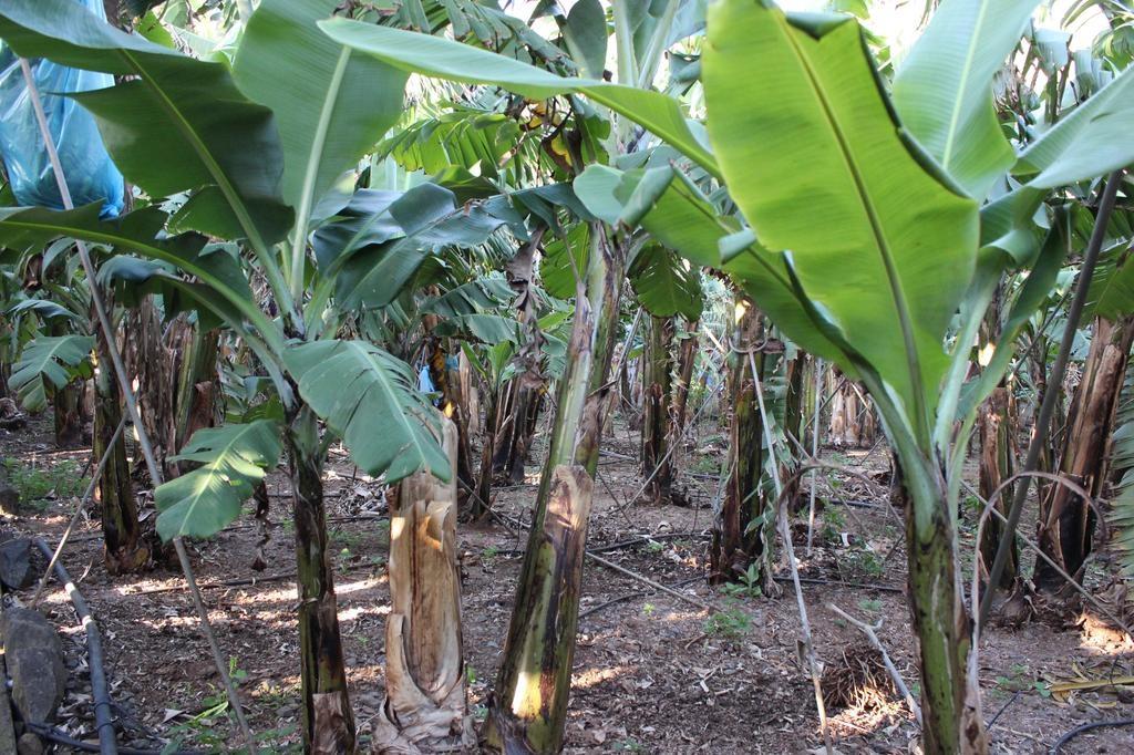 Nova solução para doença das bananeiras