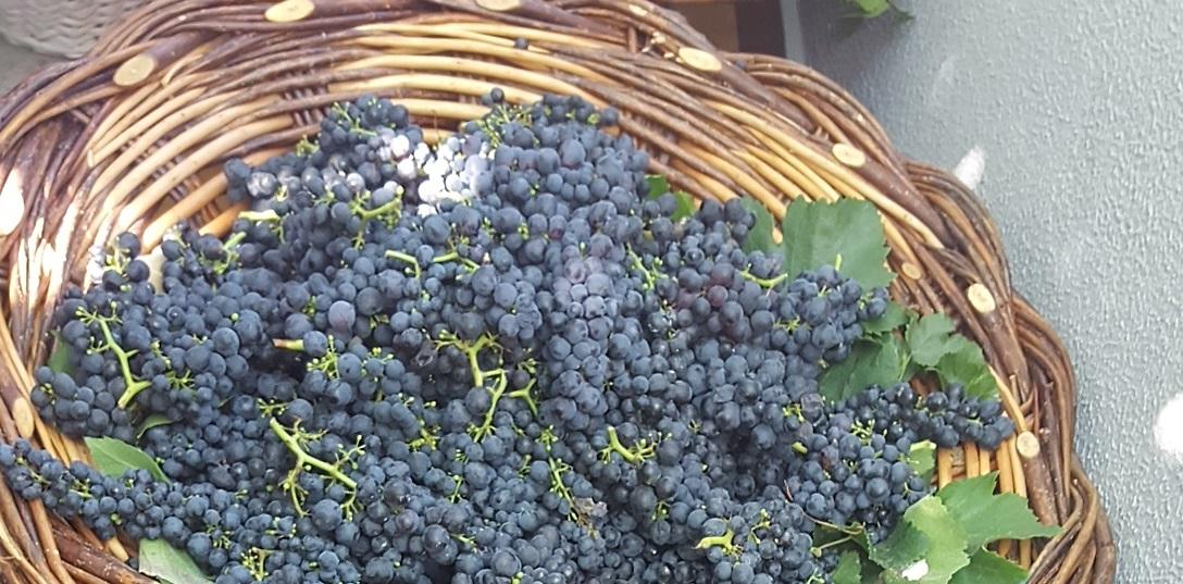 Governo Regional garante escoamento das uvas
