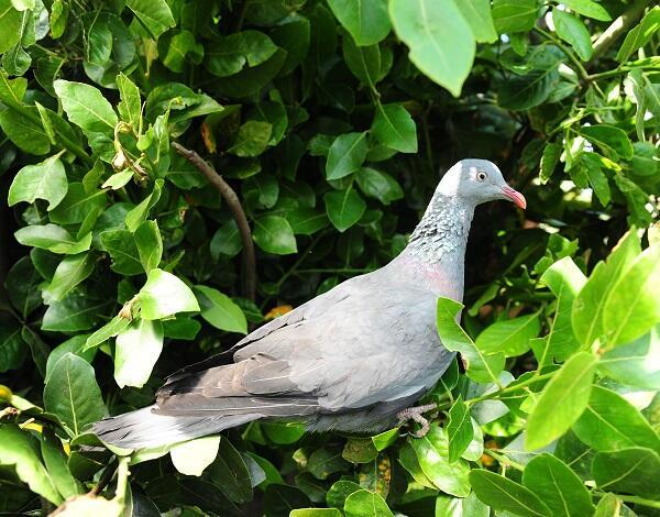 PRODERAM concede apoios para diminuir danos provocados pelo pombo torcaz na agricultura