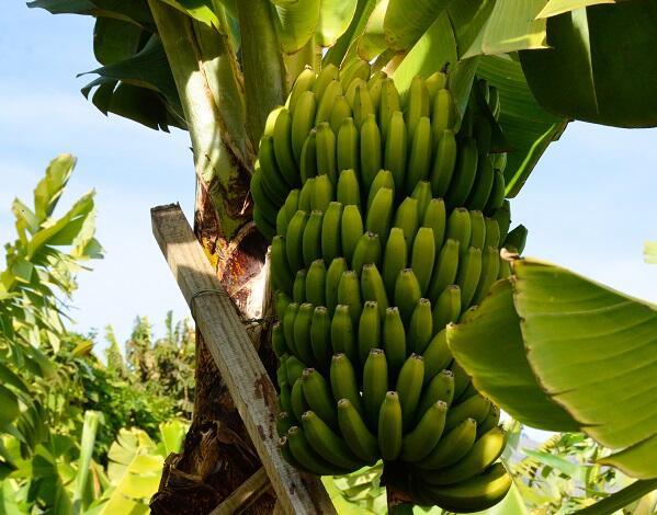 Casas do Povo colaboram com produtores de banana